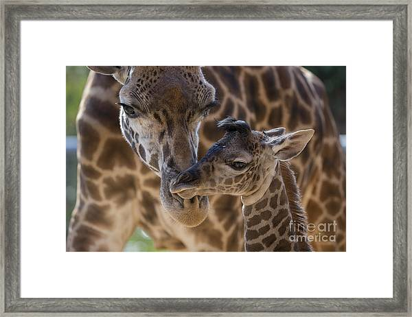 Masai Giraffe And Calf Framed Print