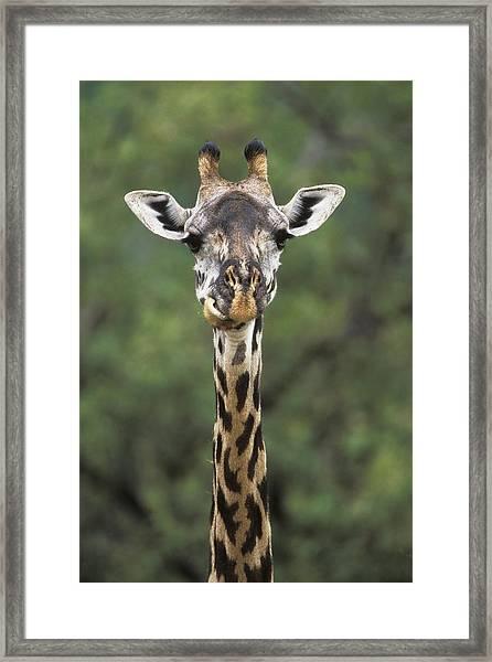 Masai Giraffe Serengeti Np Framed Print