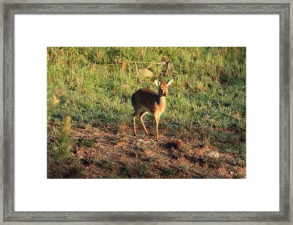 Masai Mara Dikdik Deer Framed Print