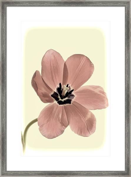 Mauve Tulip Transparency Framed Print