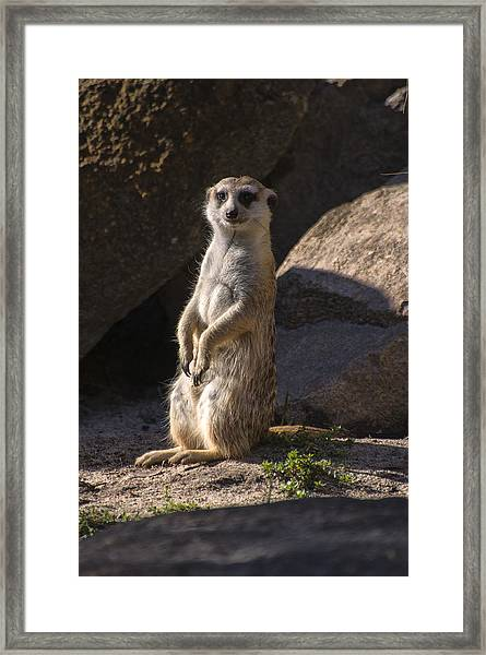 Meerkat Looking Forward Framed Print