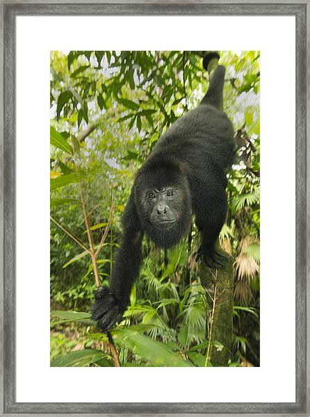 Mexican Black Howler Monkey Belize Framed Print