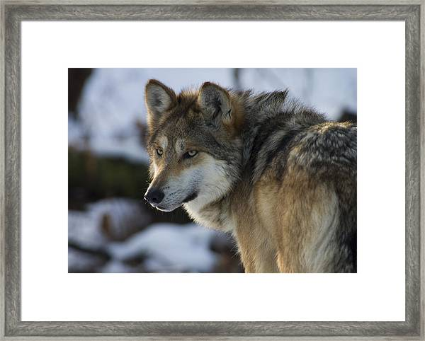 Mexican Gray Wolf Framed Print
