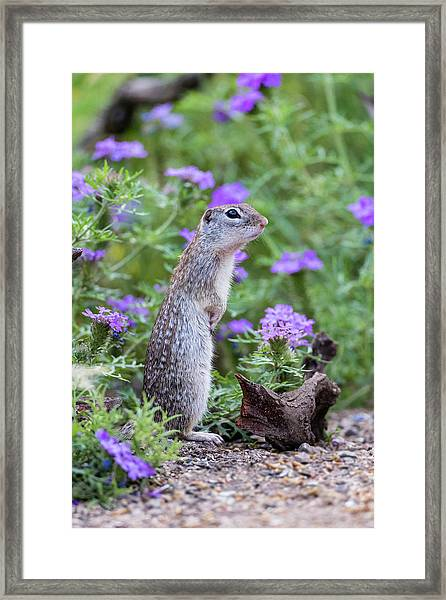 Mexican Ground Squirrel In Wildflowers Framed Print