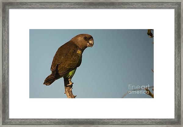 Meyer's Parrot Framed Print