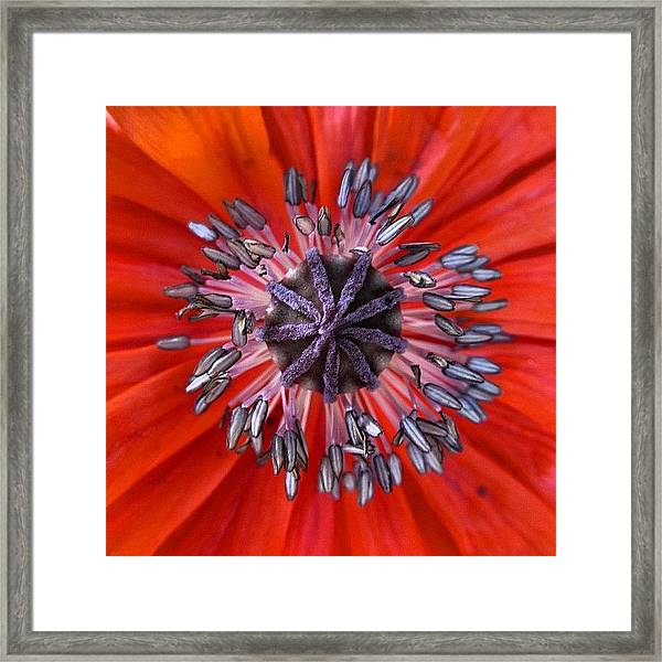 #mgmarts #nature #poppies #poppy Framed Print