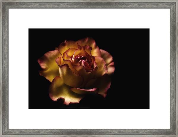 Midnight Rose Framed Print