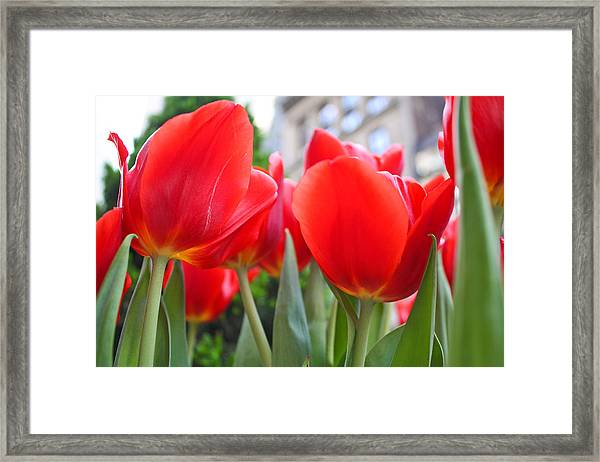 Midtown Tulips Framed Print by Zev Steinhardt