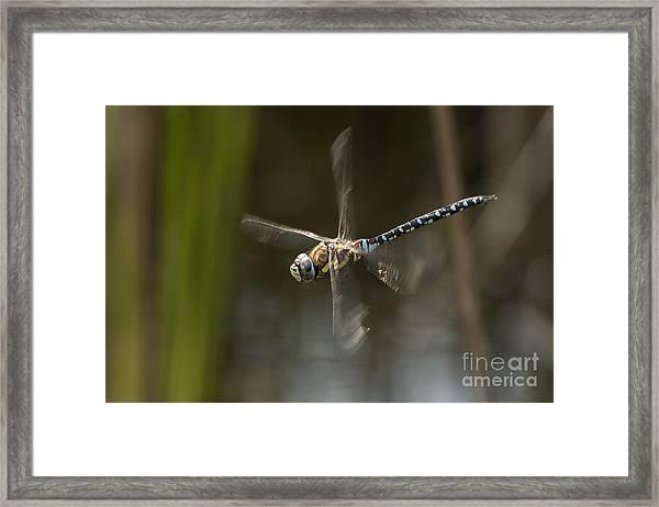 Migrant Hawker Dragonfly In Flight Framed Print