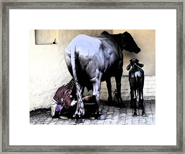 Milking The Cow Framed Print by Bliss Of Art