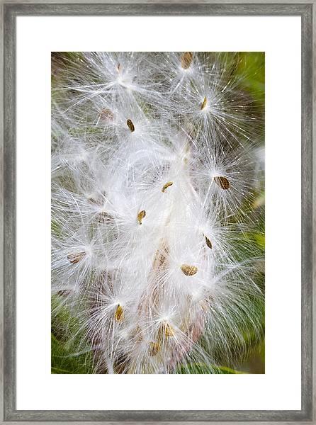 Milkweed Seeds And Fluff Framed Print