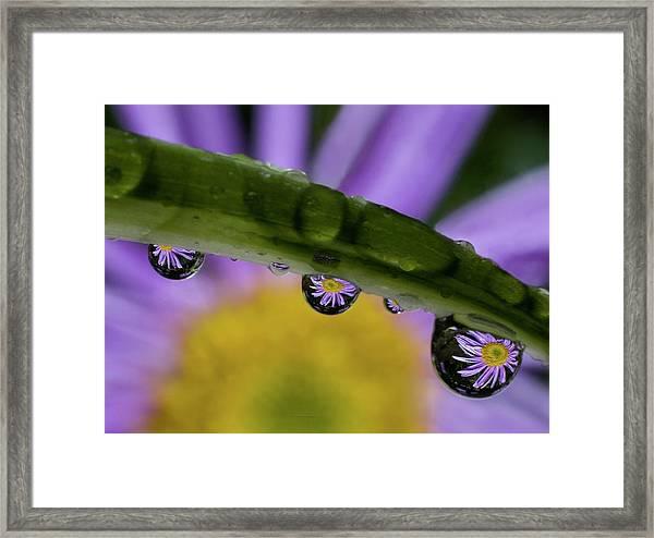 Mini Asters Framed Print