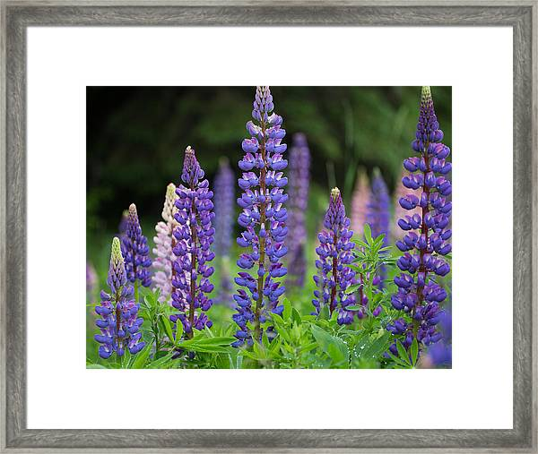 Minnesota Lupine Framed Print