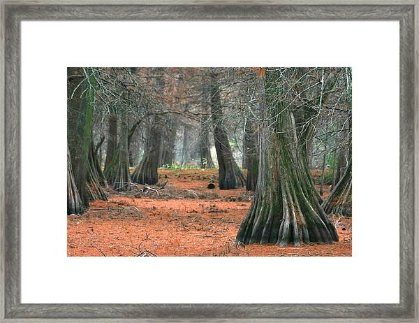 Mississippi Cypress Framed Print