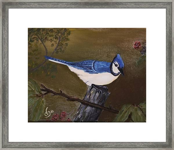 Missouri Blue Jay Framed Print