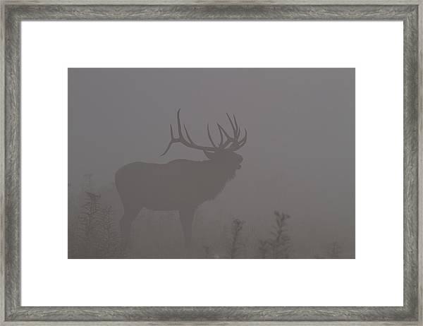 Misty Morning Bull Elk Framed Print