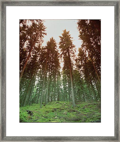 Mixed Conifer Forest Framed Print