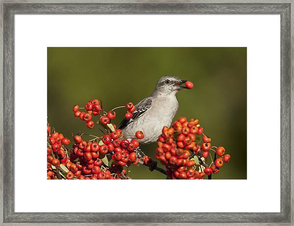 Mockingbird In Berries Framed Print