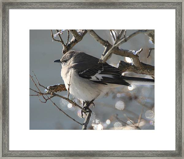 Mockingbird In Winter Framed Print