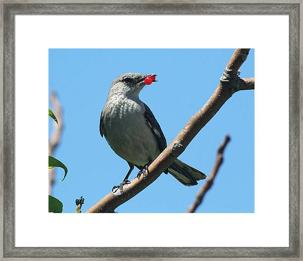Mockingbird With Berries Framed Print