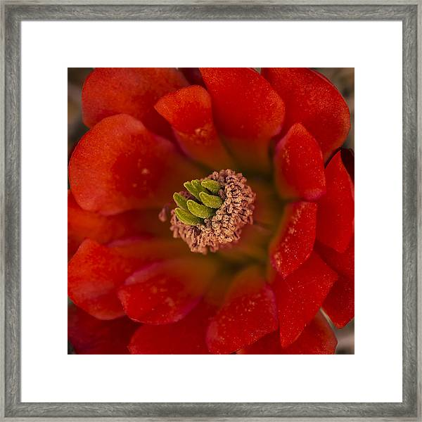 Mojave Mound Cactus Closeup Framed Print