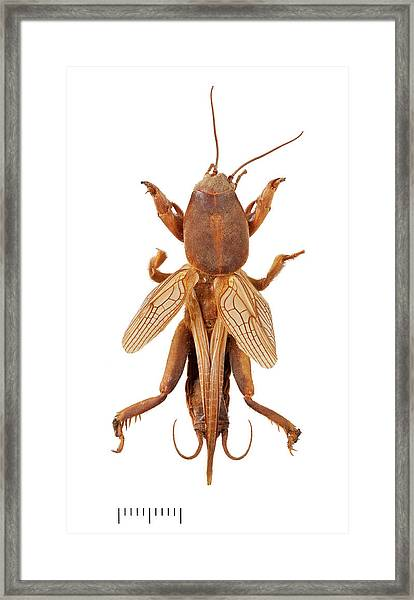 Mole Cricket Framed Print