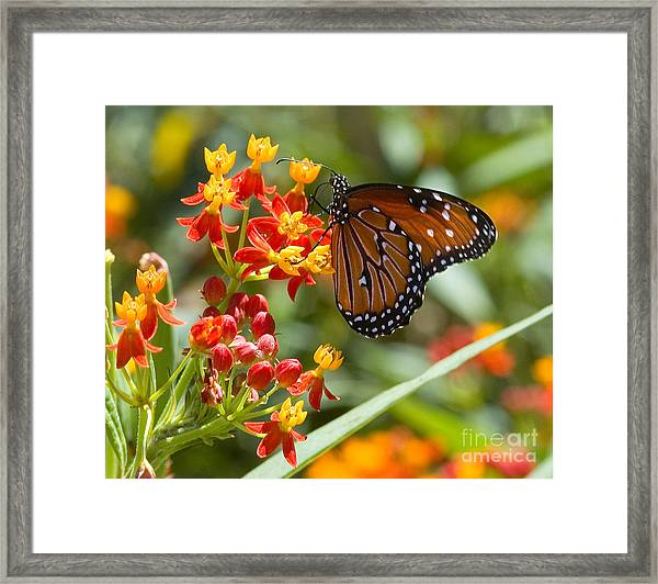 Framed Print featuring the photograph Monarch  At Work  by Mae Wertz