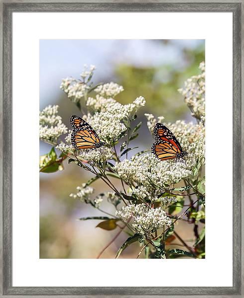 Monarch Butterflies On Milkweed Framed Print