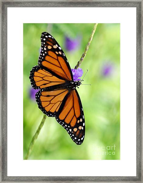 Monarch Butterfly In Spring Framed Print