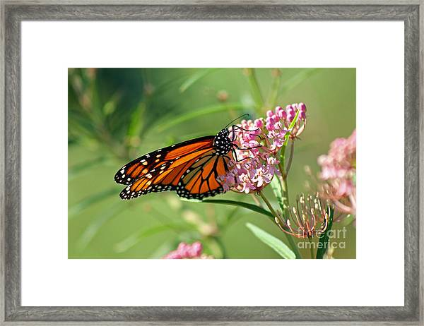 Monarch Butterfly On Milkweed Framed Print