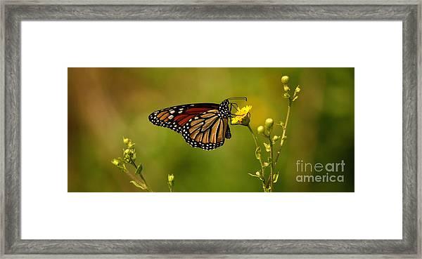 Monarch Moment Framed Print