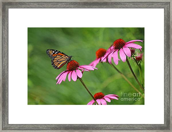 Monarch On Garden Coneflowers Framed Print