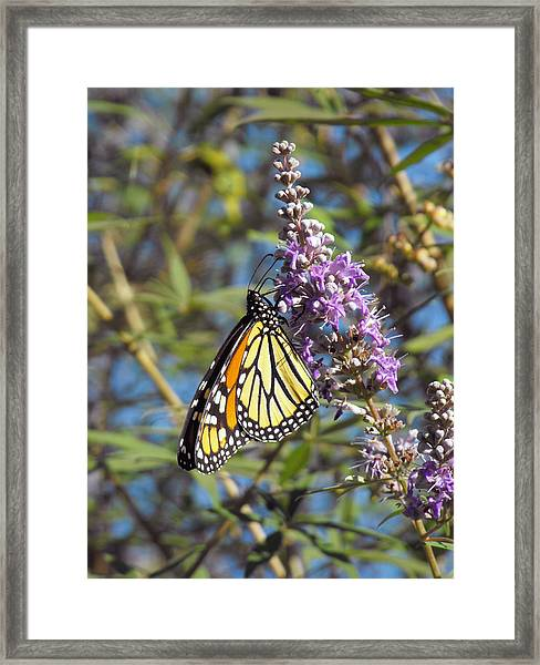 Monarch On Vitex Framed Print