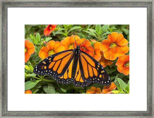 Monarch Resting Framed Print