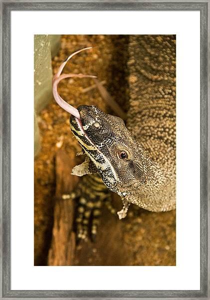 Monitor Lizard Framed Print by Debbie Cundy