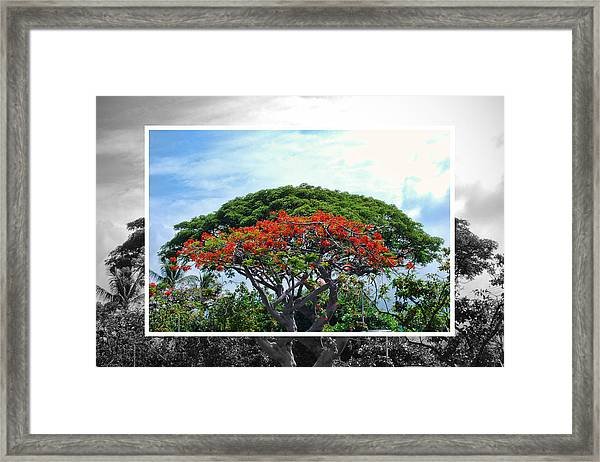 Monkey Pod Trees - Kona Hawaii Framed Print