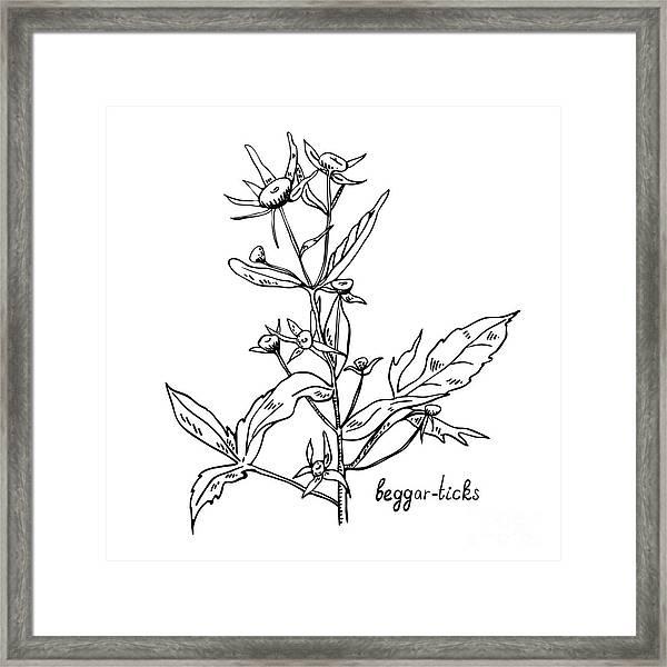 Monochrome Image Beggarticks Herb Framed Print