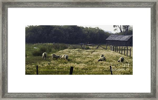 Montana Graze Framed Print