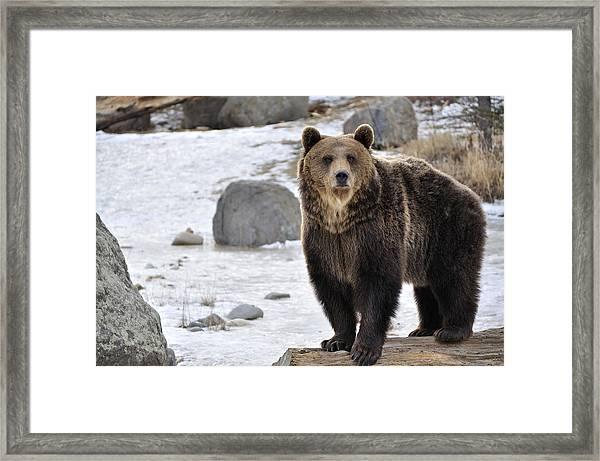 Montana Grizzly  Framed Print