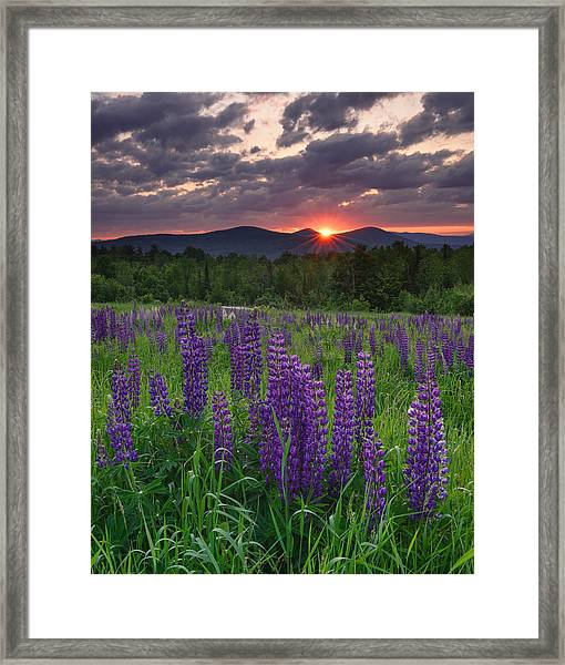 Moody Sunrise Over Lupine Field Framed Print