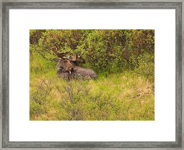 Moose Cleaning Itself Framed Print by Brian Magnier