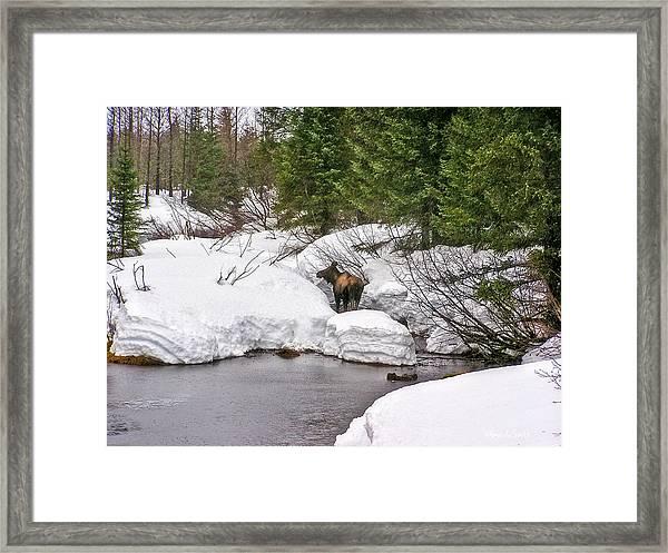 Moose In Alaska Framed Print