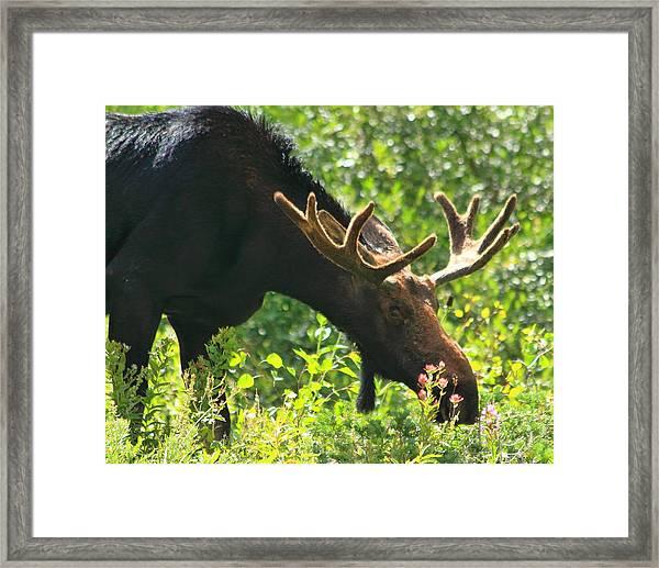 Moose In The Basin Framed Print by Gene Praag