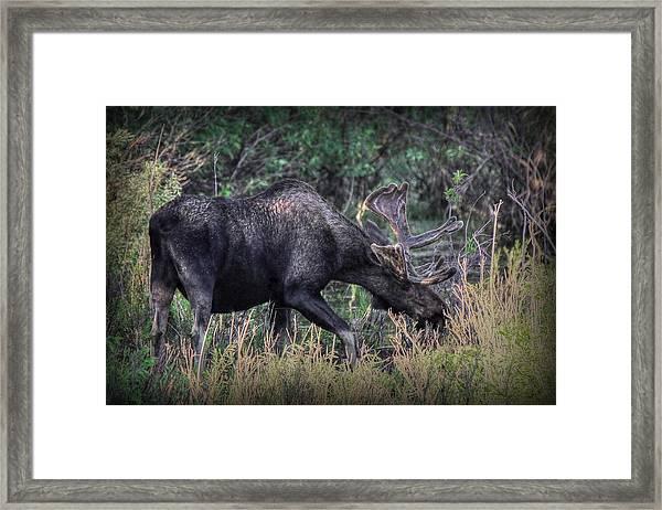 Moose In The Meadow Framed Print
