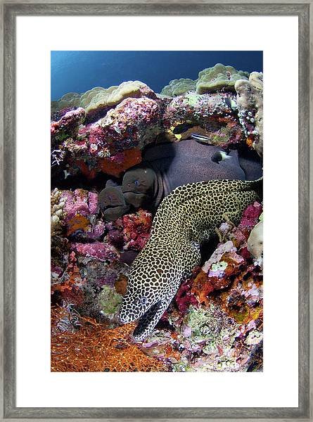 Moray Eels Framed Print