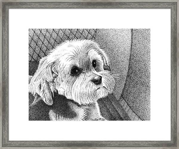 Morkie Framed Print
