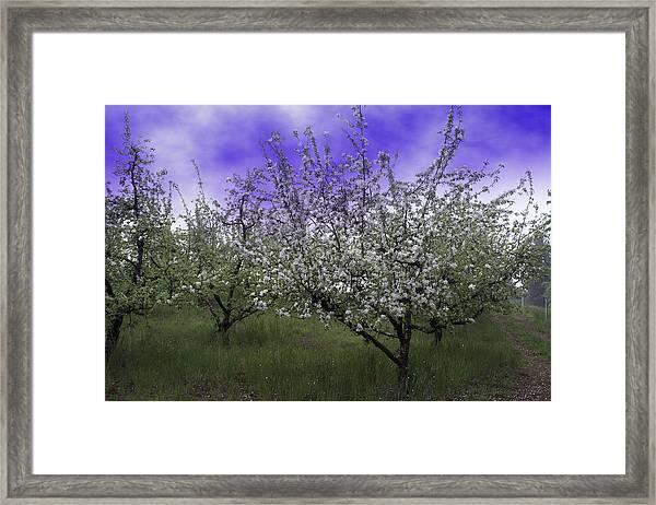 Morning Apple Blooms Framed Print