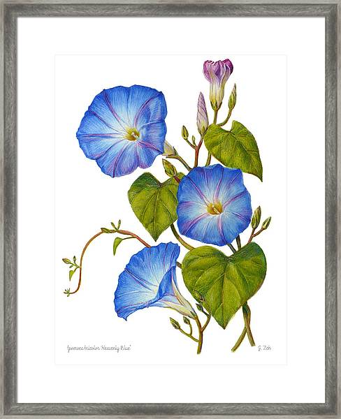 Morning Glories - Ipomoea Tricolor Heavenly Blue Framed Print