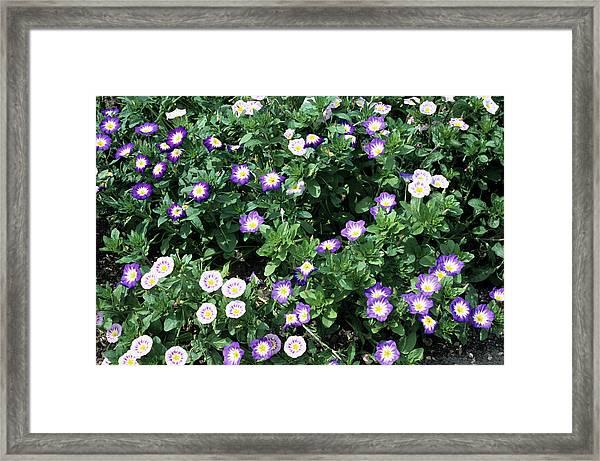 Morning Glory Flowers Framed Print