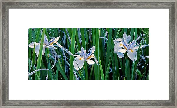 Morning Smile - Wild African Iris Framed Print